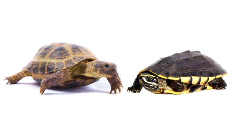 How to tell turtles and tortoises apart
